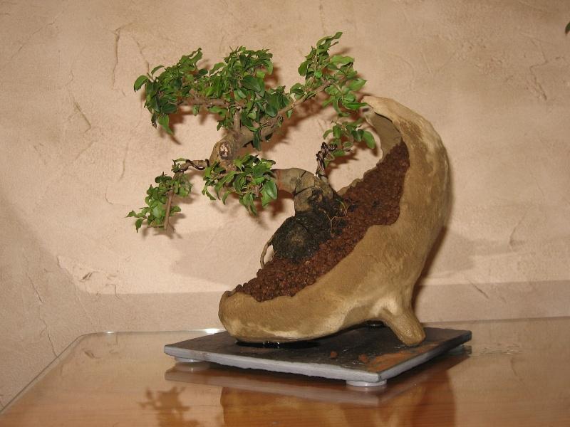 ligustrum de supermarch 233 pot coquille identifier mon arbre forums parlons bonsai