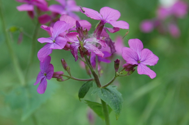 Fleur sauvage mauve