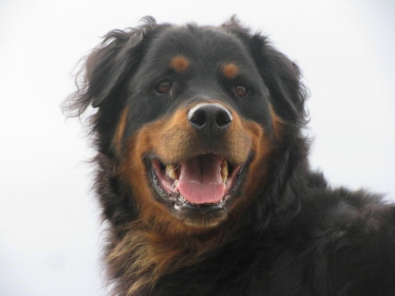 BOBB mâle rottweiler poils long environ 6 ans (dep34)