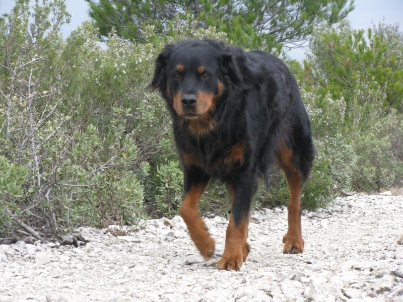 BOBB mâle rottweiler poils long environ 6 ans (dep34) - Page 2