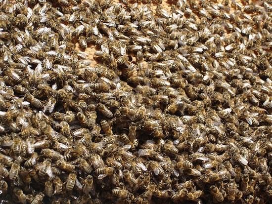 zoologie abeille en danger disparition Henri Clément UNAF Union nationale de l'apiculture française ministère de l'agriculture pétition pollinisation forte mortalité forum insectes hyménoptère