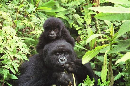 zoologie gorille des montagnes Virunga Bwindi Ouganda population en hausse République démocratique du Congo Rwanda Gorilla beringei beringei forum