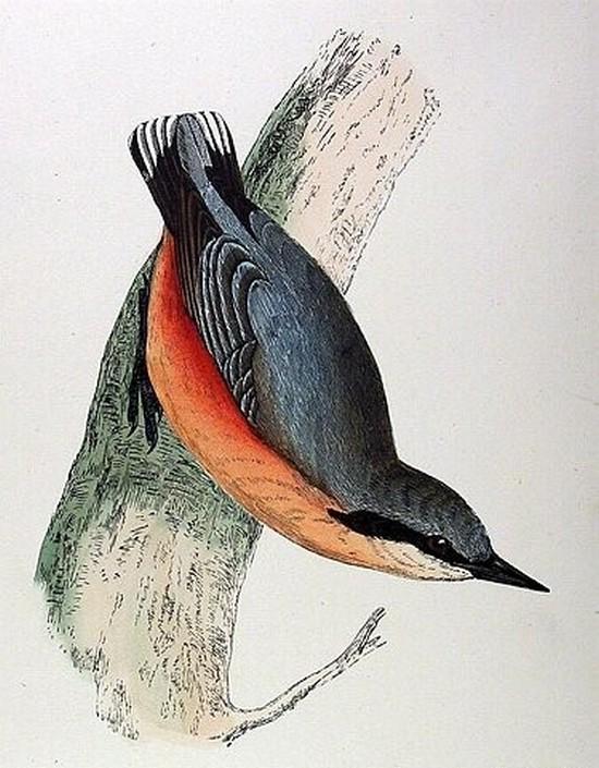 zoologie  sittelles torchepot Sitta europaea ornithologie oiseau philatélie forum passereau sittidé