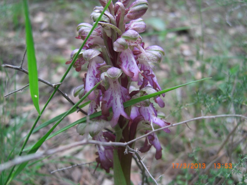 orchidee sauvage herault