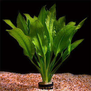 Best cultivated in large aquariums, Amazon Sword Plants make a great ...