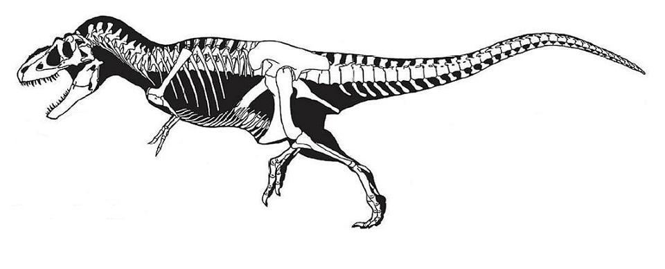 Tyrannosaur skeletals